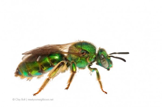 claybolt_ilcp_native_bees4a-600x397