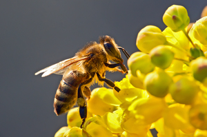 bigstock-The-Bee-In-Flower-1462796
